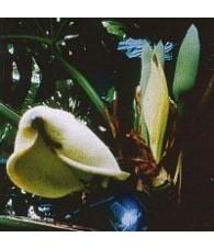Swiss Cheeese Plant 15 ml.