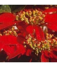 Poinsettia 15 ml.