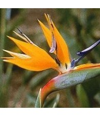 Flor del Paraiso 15 ml.