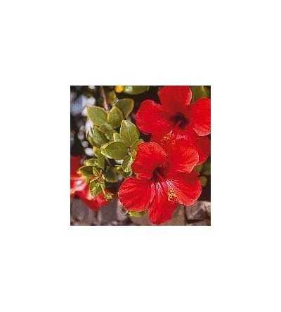 Hibiscus 15 ml.