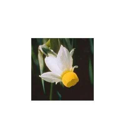 Petticoat Daffodil 15 ml.