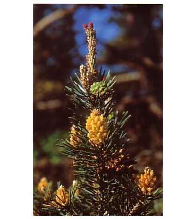 Pine 15 ml.