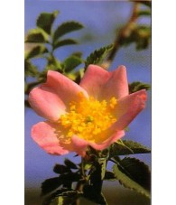 Wild Rose 15 ml.