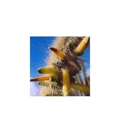 04. Inner cleansing cactus 15 ml.