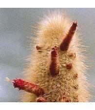 05. Aura-cleaning cactus 15 ml.