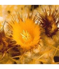 06. Golden Barrel cactus 15 ml.