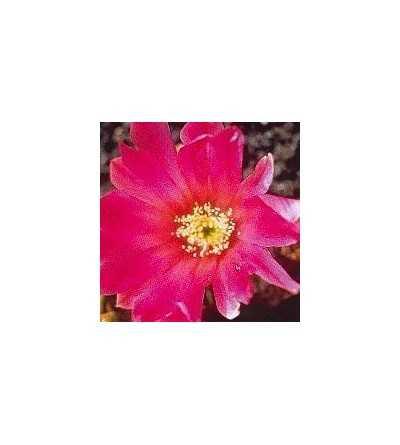 07. Beauty cactus 15 ml.