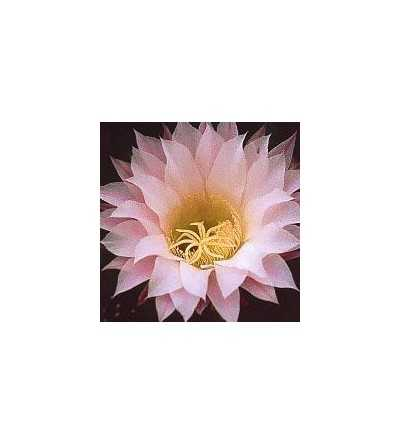 08. Inspiration cactus  15 ml.