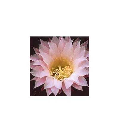 08. Cactus Inspiración 15 ml.