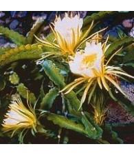 10. Cactus Aquí y Ahora 15 ml.