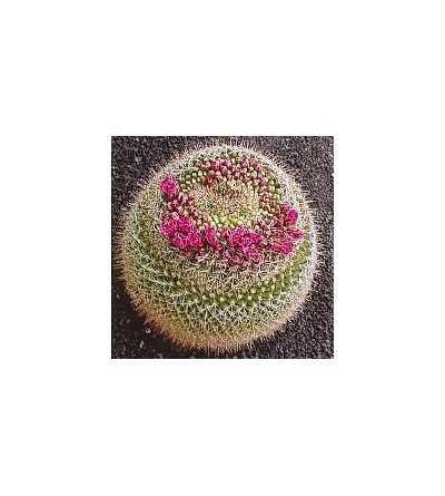 11. Cactus Fuerza Interna 15 ml.