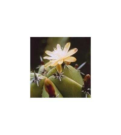 12. Cactus Arándano 15 ml.