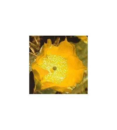 13. Cactus Opuntia Alegria 15 ml.