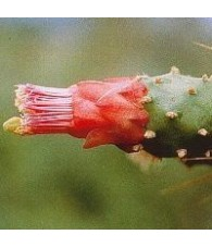 14. Cactus Opuntia Conexión con Tierra 15 ml.