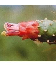 14. Grounding Opuntia 15 ml.