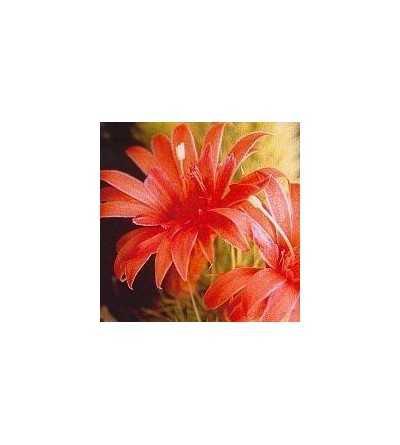 18. Cactus Amor 15 ml.