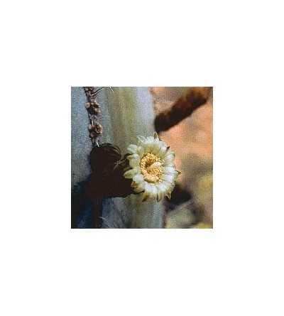 19. Cactus Corazón Noble 15 ml.