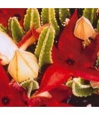 20. Earth Star Cactus 15 ml.