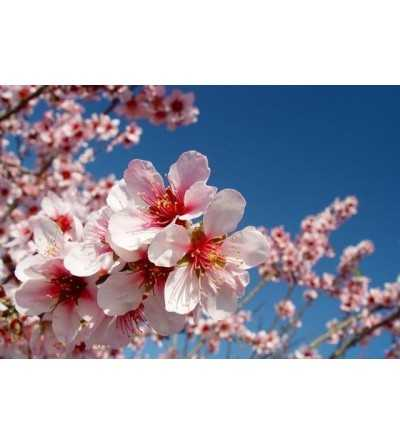 Almond tree 15 ml.