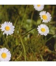 Daisy 15 ml.