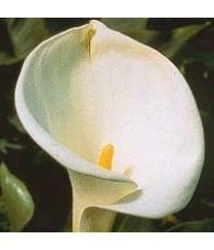 Calla lily 15 ml.