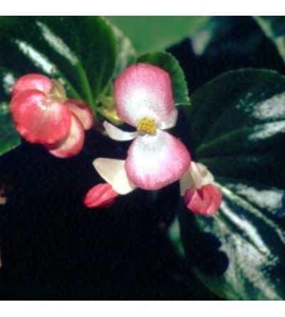 Begonia 10 ml.