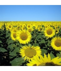 Sunflower 15 ml.