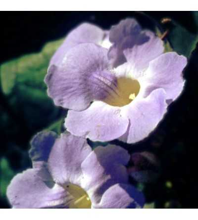 Grandiflora 10 ml.