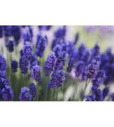 Lavender 15 ml.