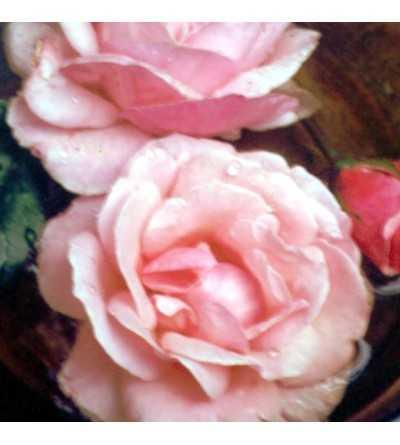 Rosa Rosa 10 ml.