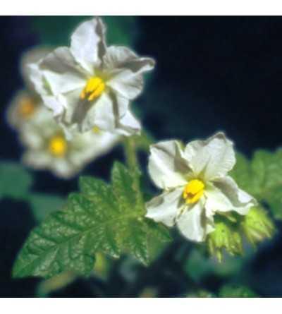 Flor Branca 10 ml.