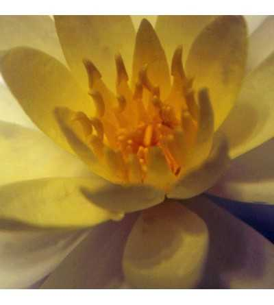 Lotus do Egipto 10 ml.