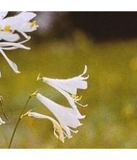 White Iris 15 ml.