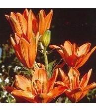 Orange Lily 15 ml.