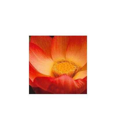 Lotus 15 ml. - Korte