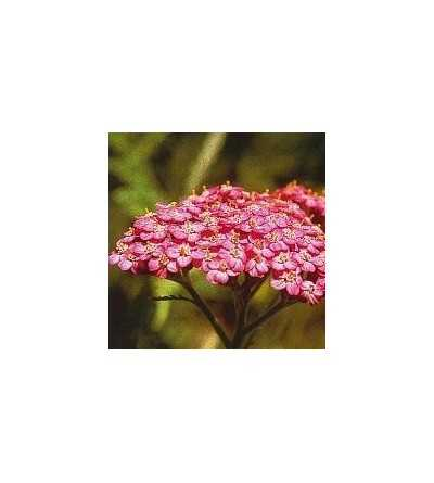 Pink Yarrow 15 ml.