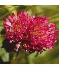 Red Clover 15 ml.