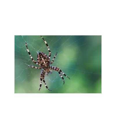 Spider Essence 15 ml.