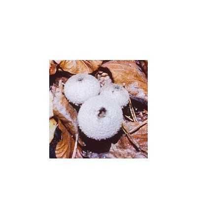 03. Common Puffball 15 ml.