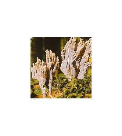 05. Grey Coral Fungus 15 ml.